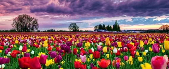 27395644-tulip-fields-wallpapers